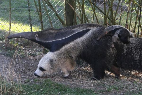 Chiếc chân trước lông lá bờm xờm của con thú ăn kiến trông như thể phần đầu của một con gấu trúc.