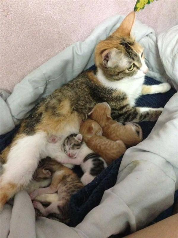 Mèo mẹ cho con bú.