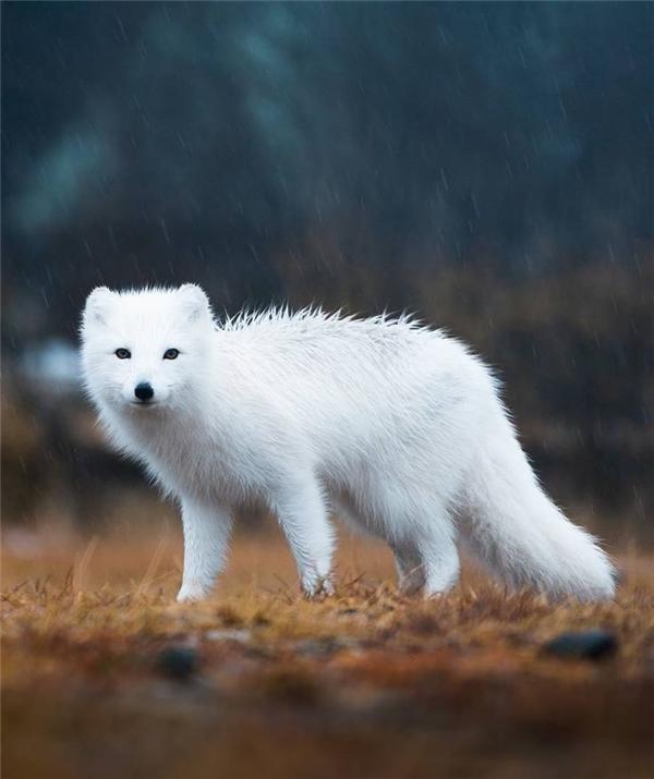 Cáo Bắc Cực/cáo tuyết: Giống như tên gọi của nó, loài cáo này sinh sống chủ yếu ở vùng Bắc Cực và thích nghi rất tốt với khí hậu lạnh lẽo. Mỗi khi săn mồi, chúng thường bật nhảy lên thật cao và cắm đầu xuống mặt tuyết vồ lấy con mồi.