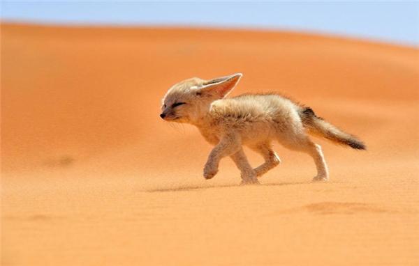 Cáo fennec: Loài cáo này sinh sống chủ yếu ở sa mạc Sahara, có đôi tai rất to giúp chúng thích nghi với nhiệt độ của môi trường sinh sống và thính giác cực nhạy giúp chúng dễ săn bắt mồi.