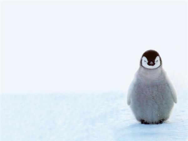 Chim cánh cụt: Trên thế giới có đến 17 loài cánh cụt khác nhau, nhưng loài nào cũng chỉ có hai màu trắng và đen. Chúng không biết bay nhưng chúng lại rất giỏi bơi lội và trượt tuyết.