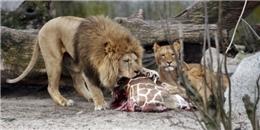 Phẫn nộ trước cảnh hành quyết con mồi tại vườn thú