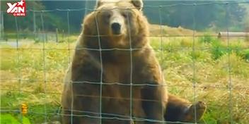Khi gấu cũng được nuôi làm thú cưng