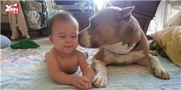 Những đoạn clip  siêu đáng yêu  của giống chó Pitbull và em bé