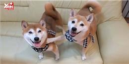 Clip đánh dấu sự trưởng thành của 2 chú chó Shiba thu hút cư dân mạng