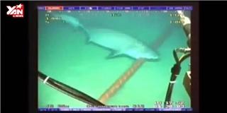 Clip  độc  ghi lại cảnh cá mập cắn cáp quang dưới đáy biển