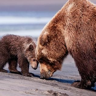 Đoạn phim cảm động về tình mẫu tử giữa hai chú gấu