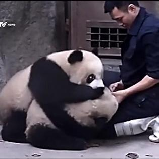 Clip gấu trúc không muốn uống thuốc cực dễ thương