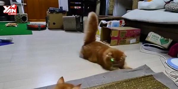 """Cười hết cỡ khi gia đình mèo """"náo loạn"""" với tia laser"""