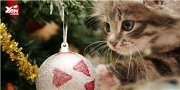 Khi mèo cưng  chơi  Giáng sinh