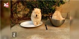 Thích thú ngắm những chú chó nhỏ nhất trái đất