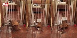 Màn tẩu thoát đầy ngoạn mục của chú chó bị giam