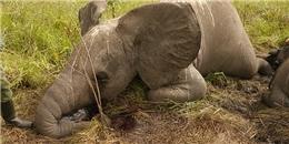 Rùng mình với hình ảnh voi bị giết nằm la liệt
