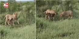 Clip sư tử đánh đuổi đồng loại để bảo vệ con bê