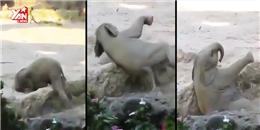 Màn cứu nguy của bố mẹ cho chú voi con ham chơi cực đáng yêu