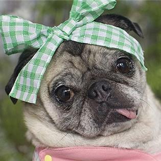 Tại sao Pug là loài chó đáng yêu nhất quả đất?