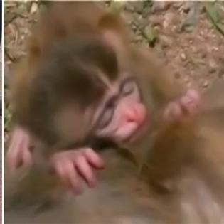 Xúc động với khỉ con ôm chặt xác mẹ không rời