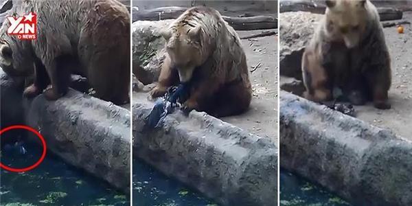 Kỳ lạ chú gấu cứu quạ khỏi chết đuối