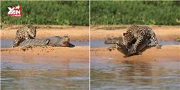 Kinh hoàng báo đốm  làm thịt  cá sấu chỉ sau một cú đớp