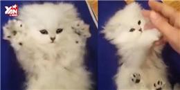 Ai bảo mèo không thích đùa giỡn?