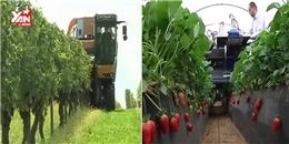 Kinh ngạc với máy thu hoạch nho, dâu tây, bắp cải cực nhanh