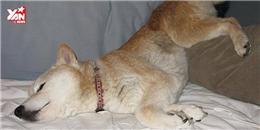 Những chú chó cũng biết... ngủ mớ