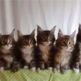 Màn đồng diễn cực dễ thương của các chú mèo con