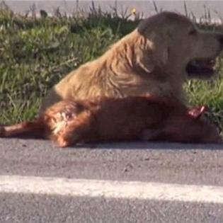 Nghẹn ngào chú chó đứng che cho bạn bị xe tông chết