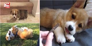 Những chú chó Corgi siêu dễ thương giúp bạn... bái bai nỗi buồn