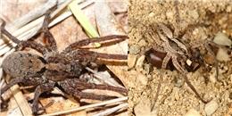 Kì lạ tuyệt chiêu  mời gọi  bạn tình của loài nhện