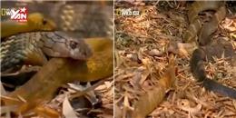 Kinh hoàng hổ mang chúa nuốt chửng rắn độc  khủng