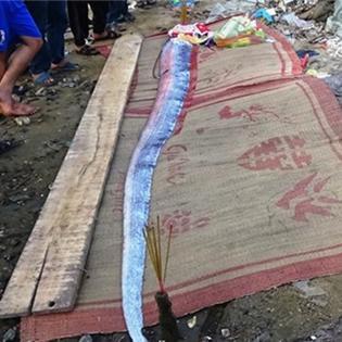 """Cá """"thiêng"""" lại tiếp tục dạt vào bờ biển Quảng Bình"""