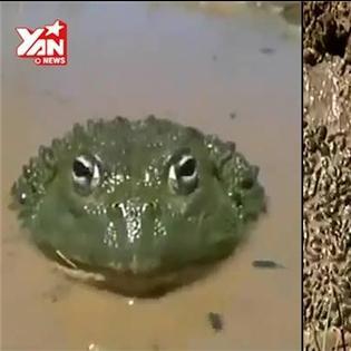 Cảm động ếch mẹ tự đào kênh dẫn nước cứu đàn con