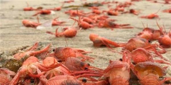 Hàng triệu con tôm hùm bất ngờ trôi dạt vào bờ