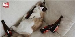 Hài hước với cách  giải rượu  của... các chú mèo