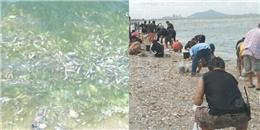 Bất ngờ trước hàng trăm ngàn con cá trôi dạt trắng xóa bờ