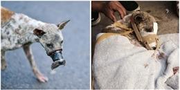 Chú chó bị buộc mõm đến hoại tử ở Bến Tre giờ ra sao?