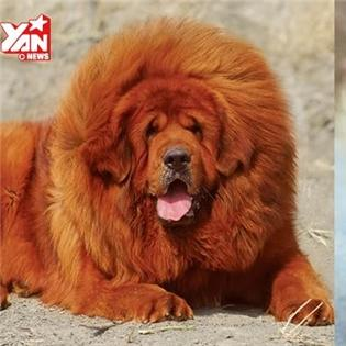 Những loài chó đắt đỏ và quý hiếm nhất thế giới