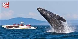 Thích thú ngắm cá voi xám vui đùa cùng du khách
