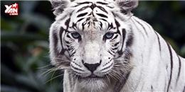 Sự thật đau lòng về hổ trắng mà các vườn thú luôn che giấu