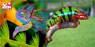 Bật mí bí kíp giúp tắc kè đổi màu kì diệu giữa thiên nhiên