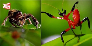 Bất ngờ với loài bọ ngựa múa võ y như người