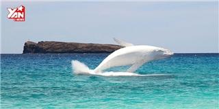 Cá voi bạch tạng bất ngờ lộ diện