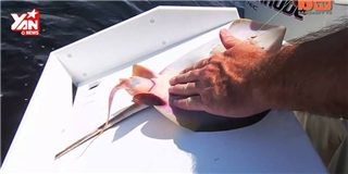 Thích mê cảnh ngư dân  đỡ đẻ  cho cá đuối