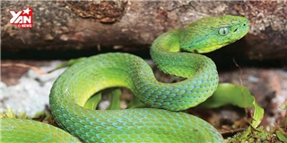 Choáng váng với 3 hòn đảo toàn rắn độc sinh sống