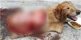 Chú chó bị tai nạn rách lưng khiến triệu người bật khóc