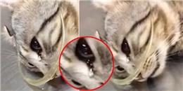 Tranh cãi xung quanh chú mèo rơi nước mắt khi được cứu sống