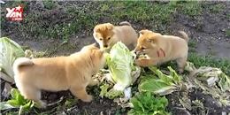 Dân mạng  phát rồ  trước 3 chú chó tham ăn nhất quả đất