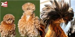 Những giống gà kì lạ và độc đáo nhất thế giới