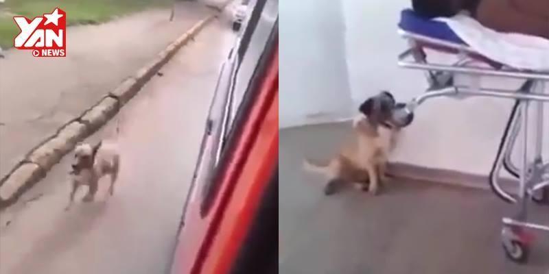 Biết chủ trong xe cấp cứu, chú chó quyết không rời nửa bước